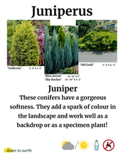 Load image into Gallery viewer, Juniperus communis 'Gold Cone' #7