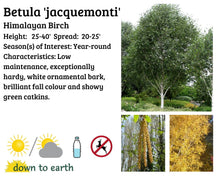 Load image into Gallery viewer, Betula 'Jaquemonti' #7T