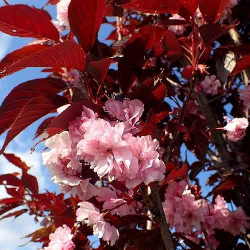 Prunus 'Royal Burgundy' #10