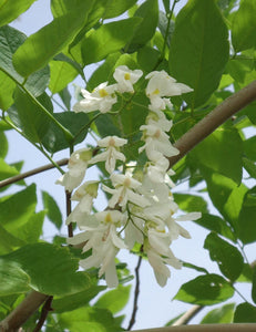 Cladrastis American Yellowwood #10