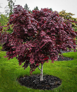 Acer palmatum 'Purple Ghost' #10
