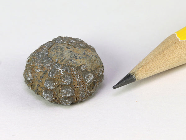 Tiny fossil sea urchin, 1:12 or 1/6 display