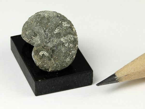 Miniature dollhouse fossil rams horn oyster, Texas, end view 2