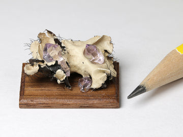 "Amethyst sceptre crystal ""toadstools"" emerging from lichen.  February birthstone"