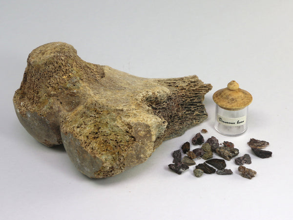 Fossil dinosaur bone pieces in jars