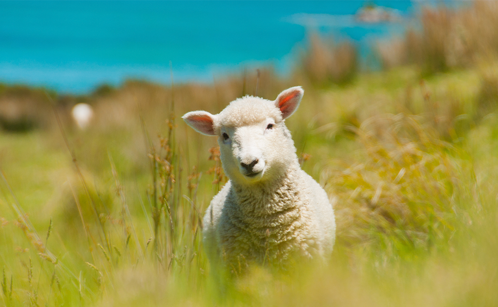 on sheep in a field