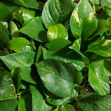 Load image into Gallery viewer, Epipremnum aureum 'Golden Pothos'