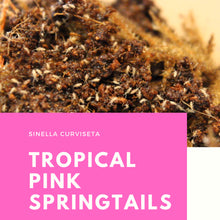 Load image into Gallery viewer, Sinella curviseta 'Tropical Pink' Springtails