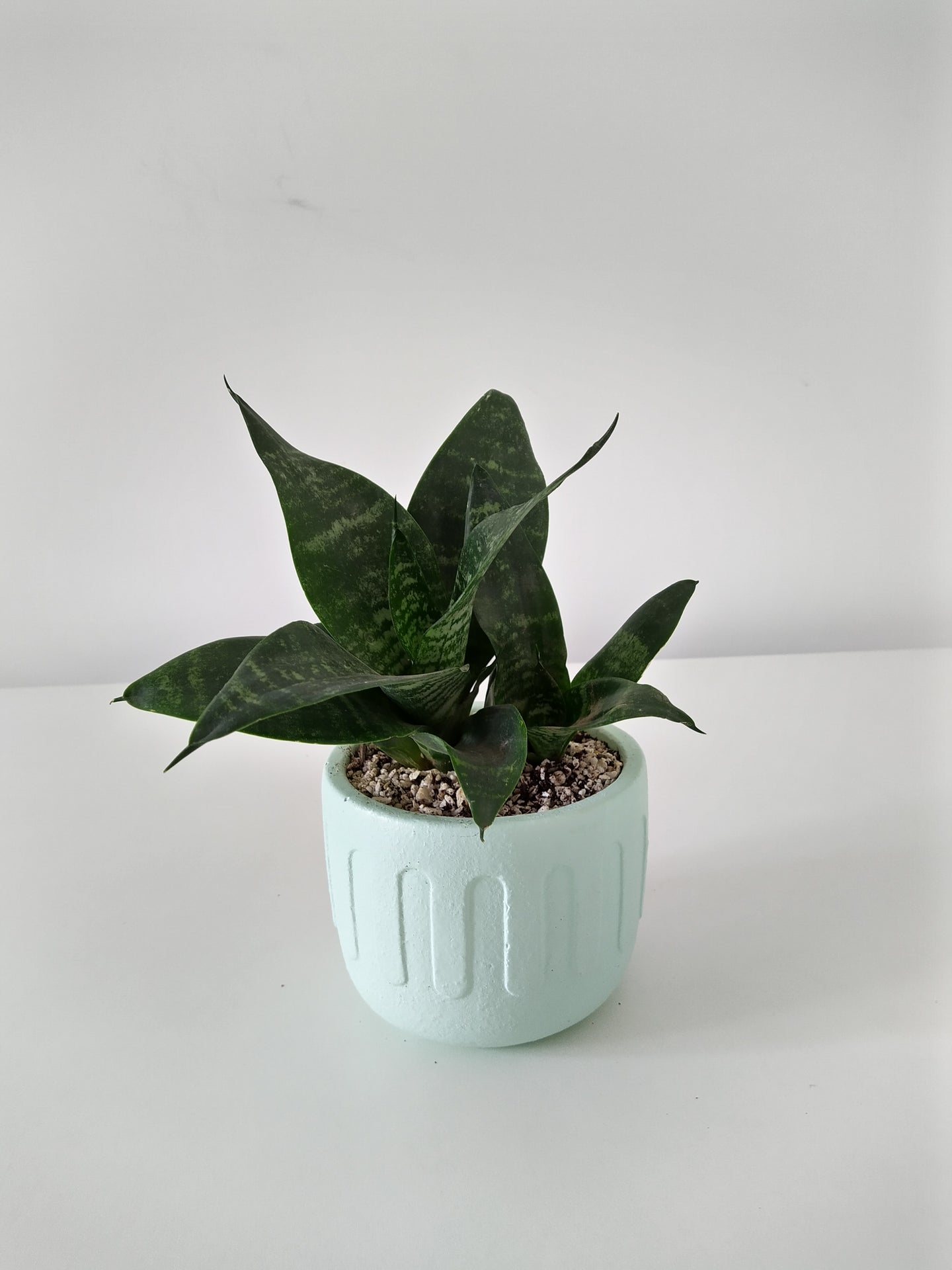 ISB/RWP ONLY - Birds nest snake plant in 'greek' (mint)