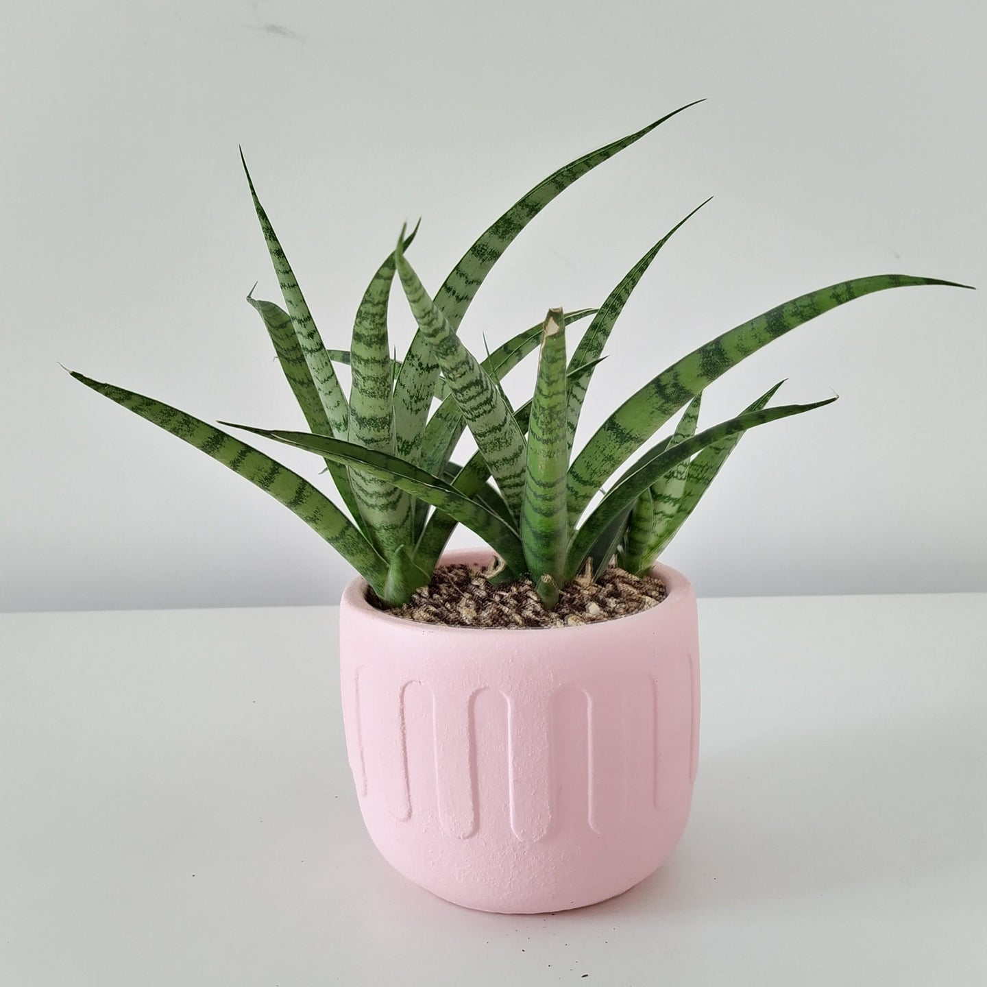 ISB/RWP ONLY - S. ballyi snake plant in 'greek' (pink)