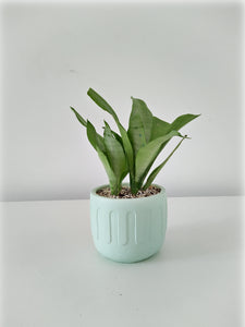 ISB/RWP ONLY - Moonshine snake plant in 'greek' (mint)