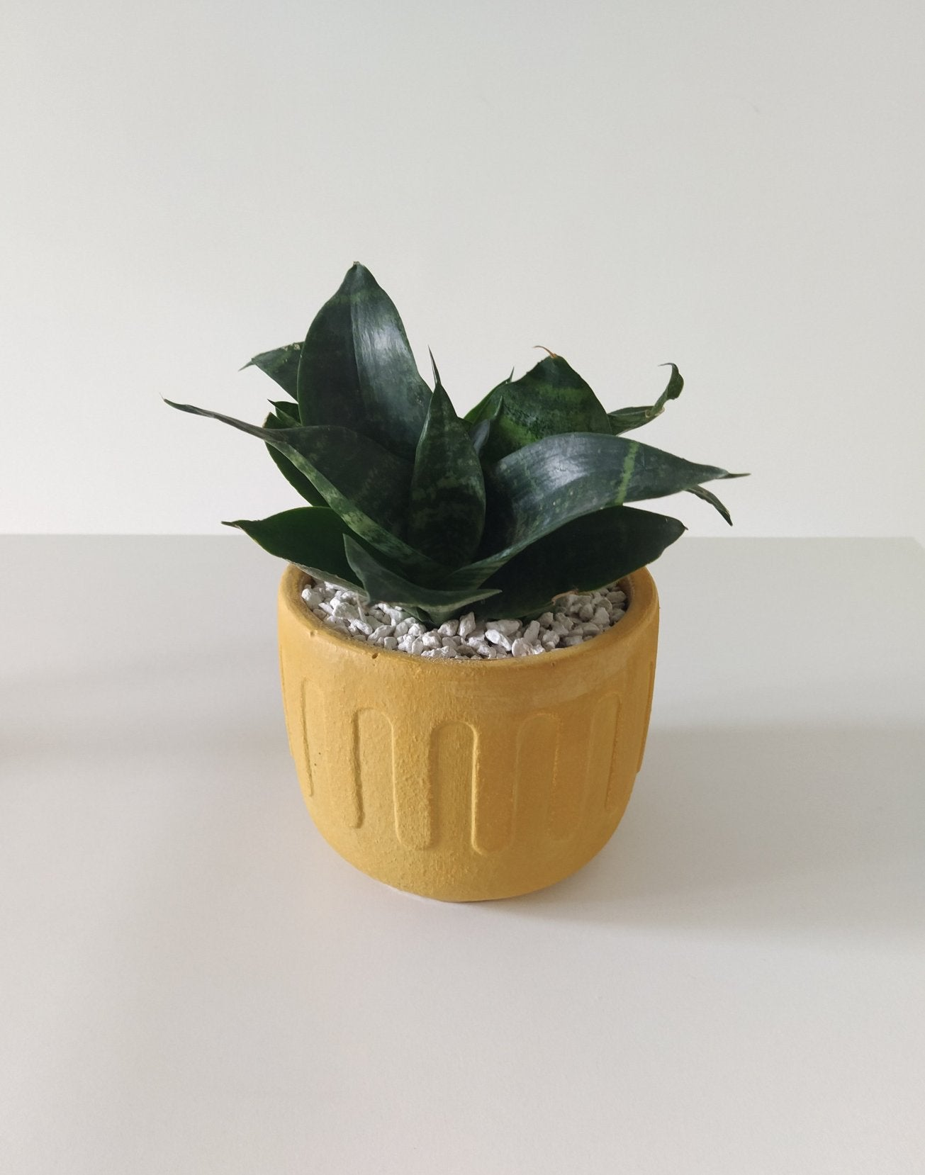 ISB/RWP ONLY - Birds nest snake plant in 'greek' (dirty gold)