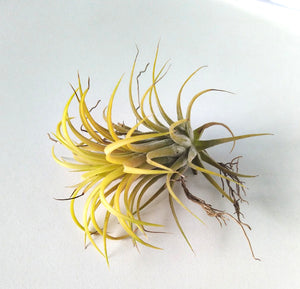 "Air plant ""Druid"""