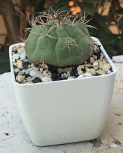 Load image into Gallery viewer, Gymnocalycium