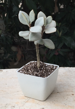 Load image into Gallery viewer, kalanchoe silver spoon
