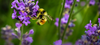 Bumble Bees Officially Listed As Endangered Species: How You Can Help