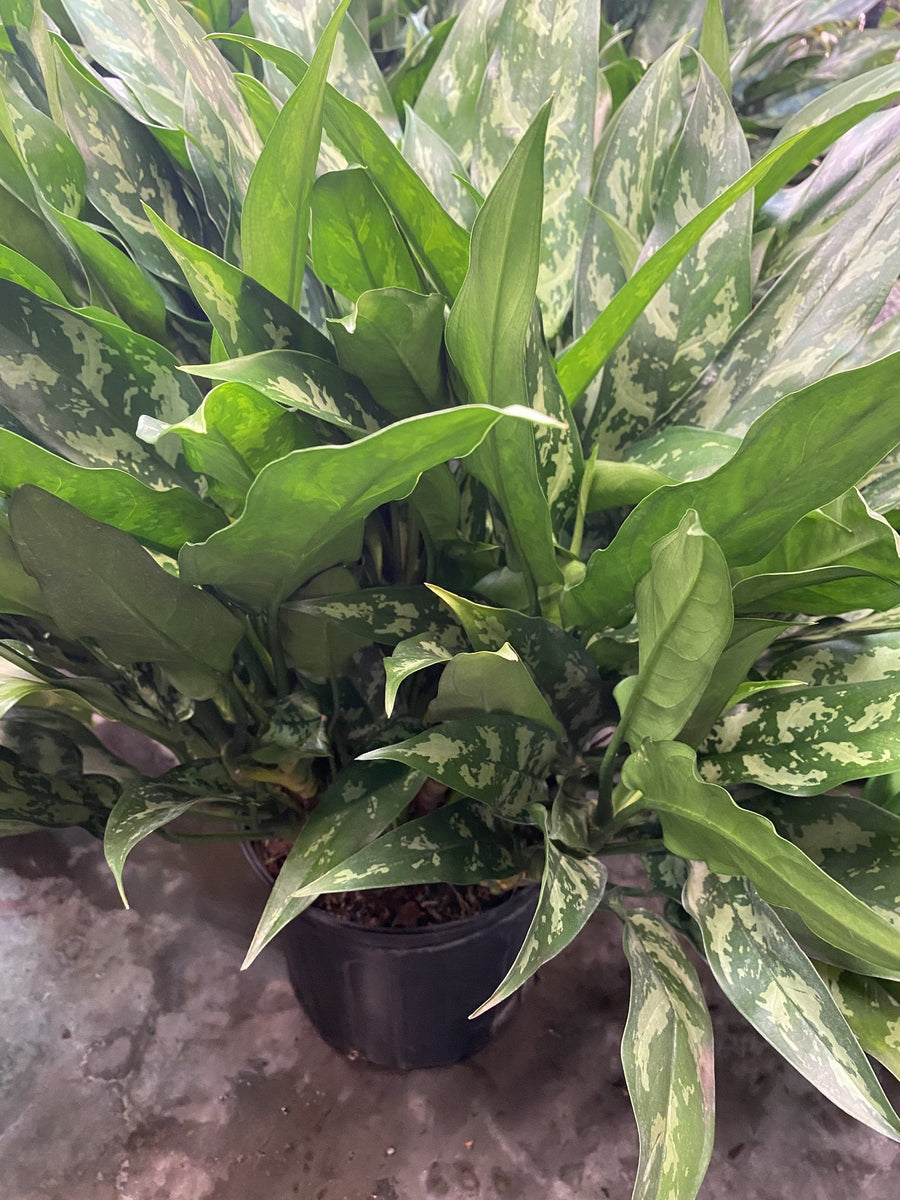 Aglaonema- Emerald Beauty 10