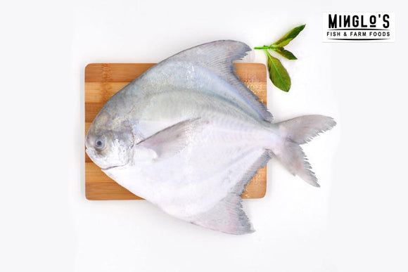 Pomfret Extra Large Single (500 to 600 grams) - MINGLO'S