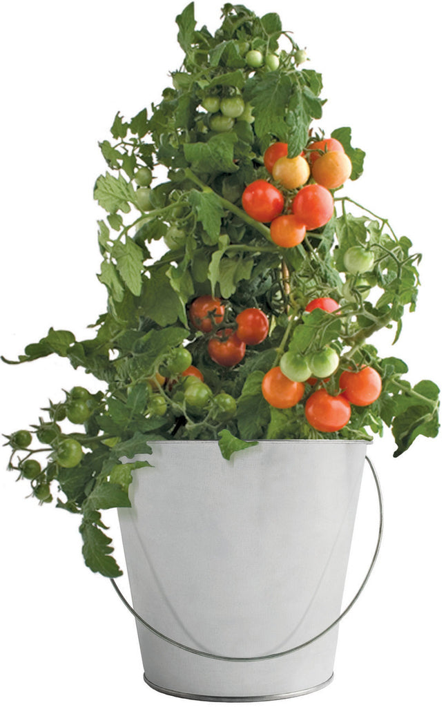 Garden-in-a-Pail - Tomato