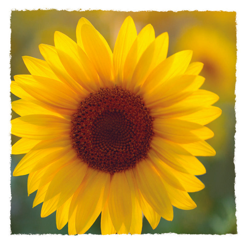 NEW - Blank - Sunflower - S203