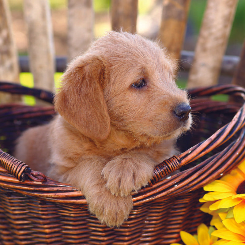NEW - Blank - Puppy in Basket - S219