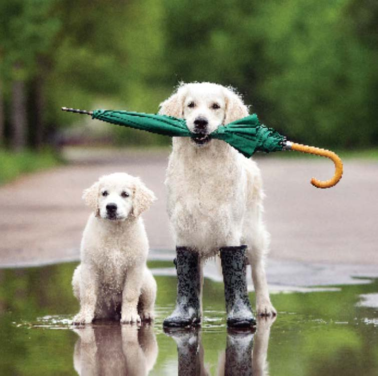 Blank Card: Golden Retriever & Puppy: S172