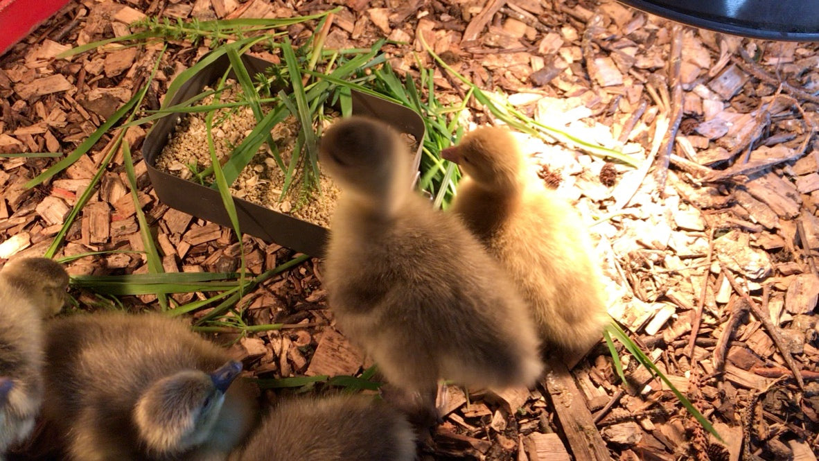Live Ducklings