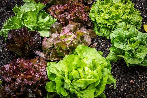 How to Grow and Harvest: Lettuce | Healthy Garden Co