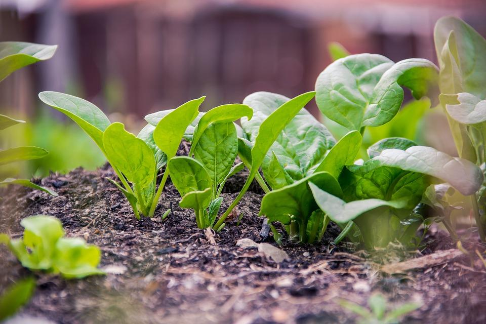 How to Grow & Harvest : Spinach | Healthy Garden Co