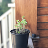 Greek Oregano Seedlings - Healthy Garden Co
