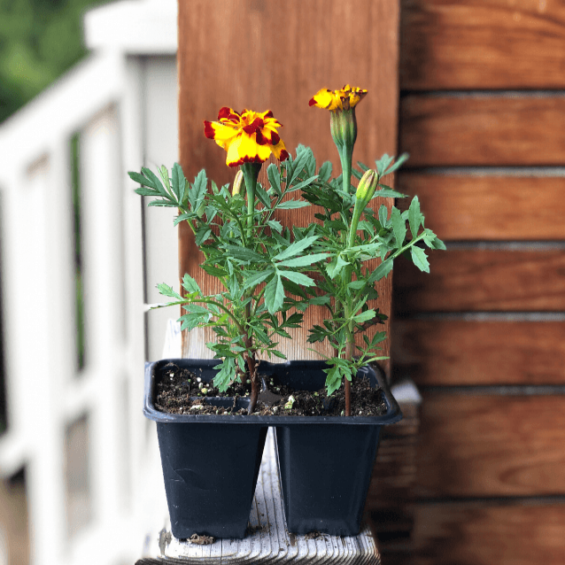 Marigolds - Healthy Garden Co