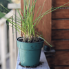 Organic Chives Seedlings - Healthy Garden Co