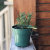 Rosemary Seedlings - Healthy Garden Co