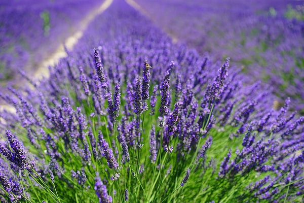 Lavender - Organic Fair Trade - Pure Essential Oil