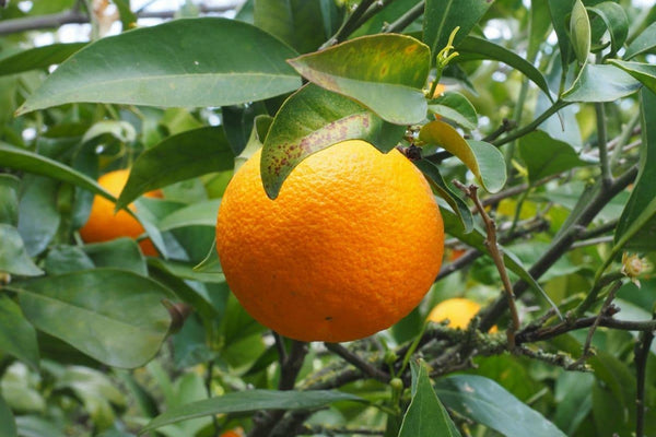 Sweet Orange - Organic - Pure Essential Oil