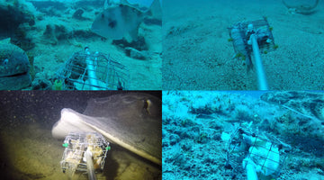 Monitoring Critically Endangered Angel Sharks using Baited Remote Underwater Video Systems (BRUVS)