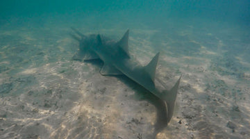 International Sawfish Day October 17th