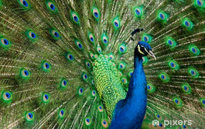 The Peacock: A Symbol of Grace, Elegance, and Beauty