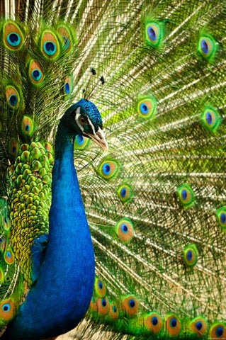 Blue Peacock, Bird, Peacock, India's National Bird
