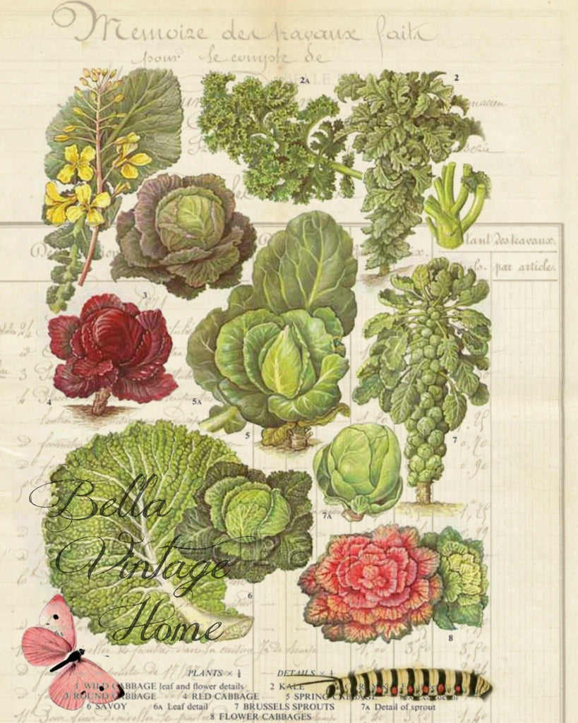 Botanical  Pink Cabbage Print,  Pillow, Note Cards, Tea Towel, Digital Download - BELLAVINTAGEHOME