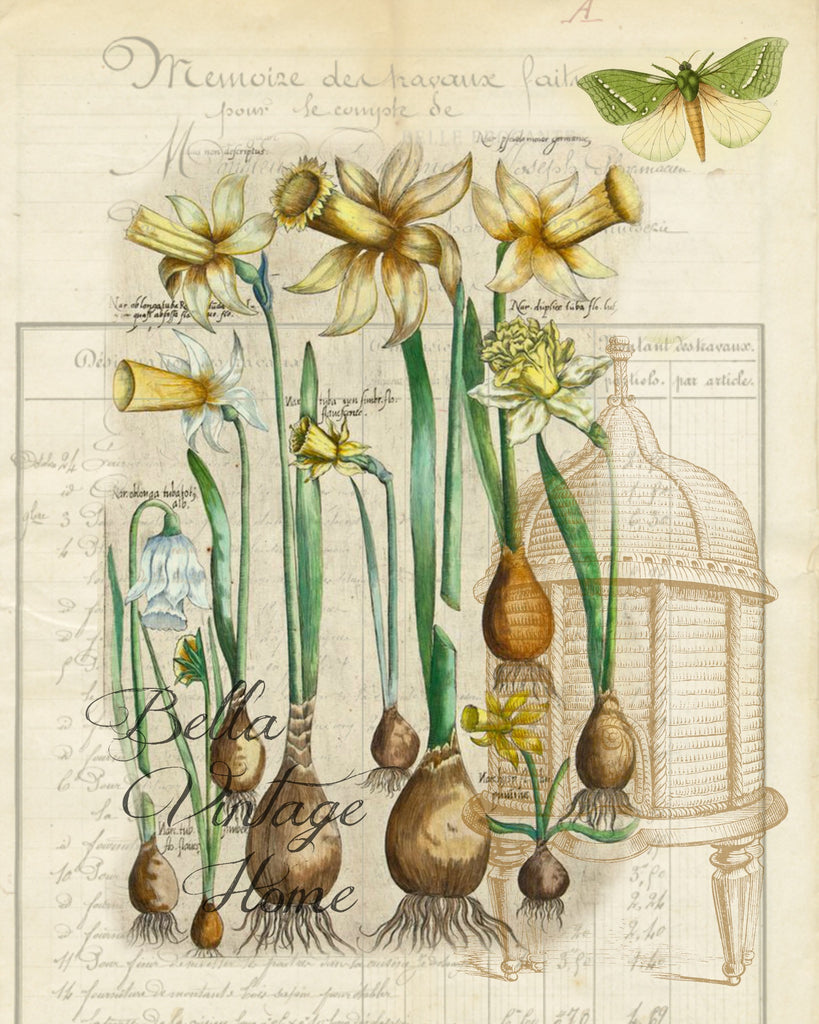 Botanical Daffodil  Bulbs Print, Pillow, Note Cards, Tea Towel, Download Digital - BELLAVINTAGEHOME