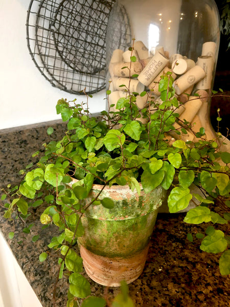 Angel Vine  and Creeping Fig Pot - BELLAVINTAGEHOME