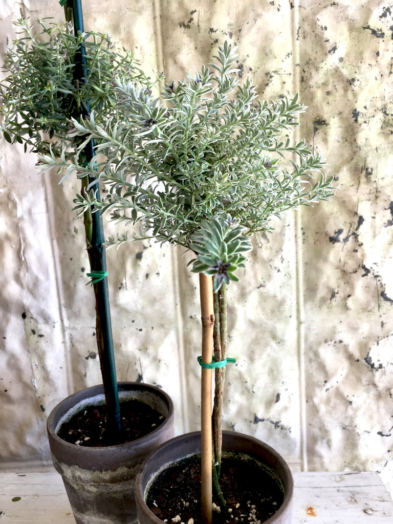 "Westringia Topiary 18"" Single - BELLAVINTAGEHOME"
