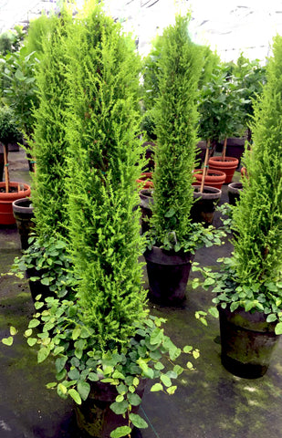 Lemon Cypress Column with Creeping Fig Underplanting - BELLAVINTAGEHOME