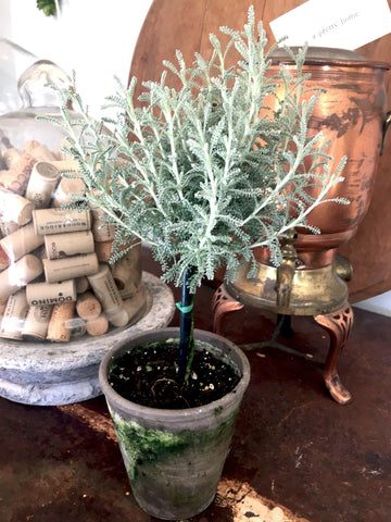 "Santolina  Lavender - Tiny Topiary 12"" - BELLAVINTAGEHOME"