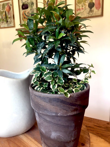 Eugenia and Creeping Fig Combo Pot - BELLAVINTAGEHOME