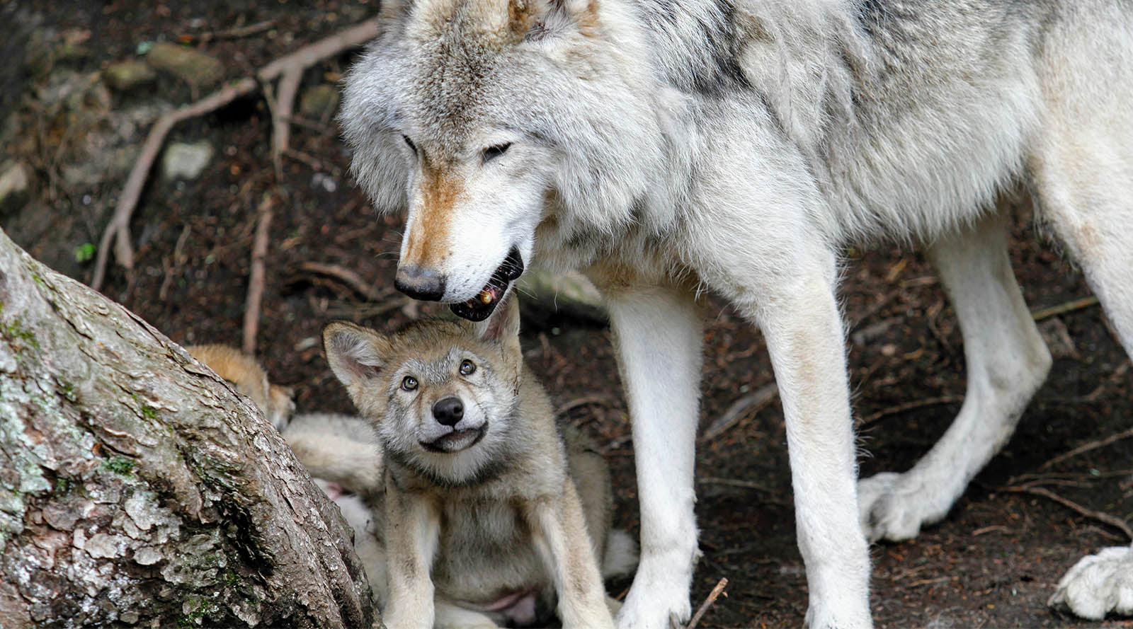 10 Reasons Why Your Spirit Animal Might Be A Wolf