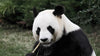 10 Reasons Why Your Spirit Animal Might Be a Panda