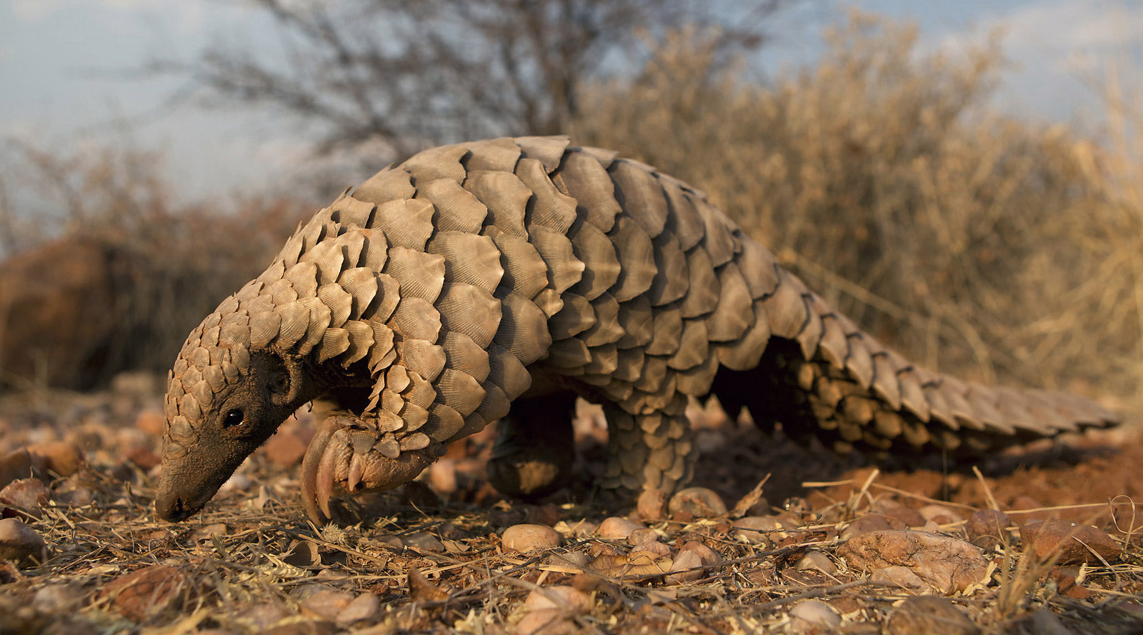 Meet the Pangolin!