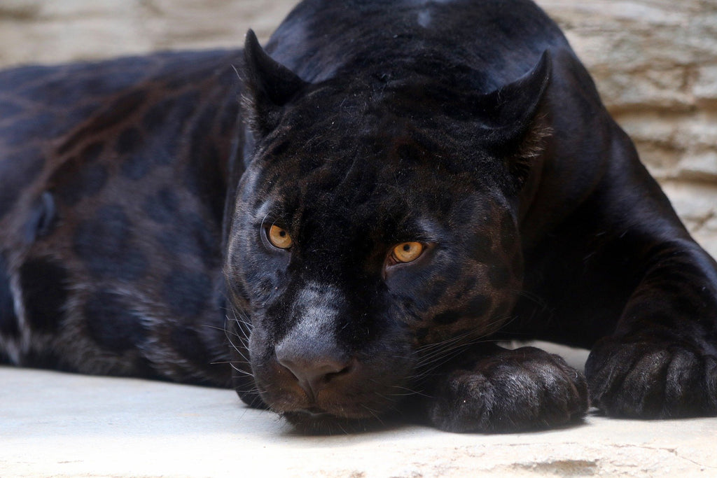 Black Panthers still have their rosettes (aka spots)